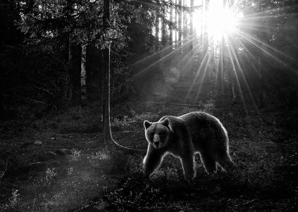 Rim lit bear, Finland