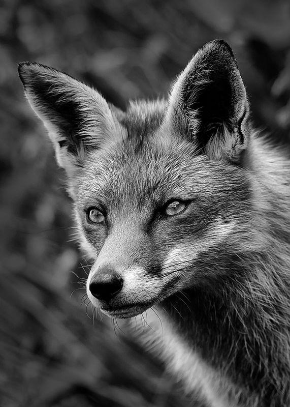 A portrait of a Fox