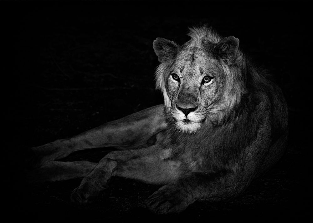 Male Lion at night
