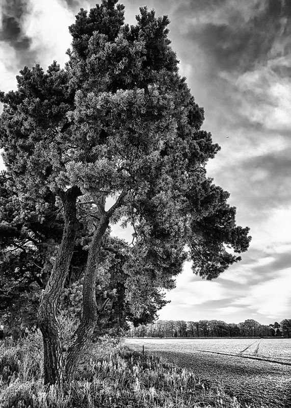 Norfolk Scotts Pine