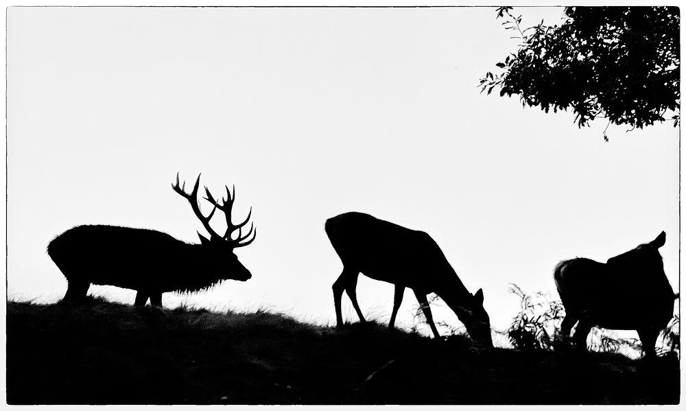 Red Deer Silhouette
