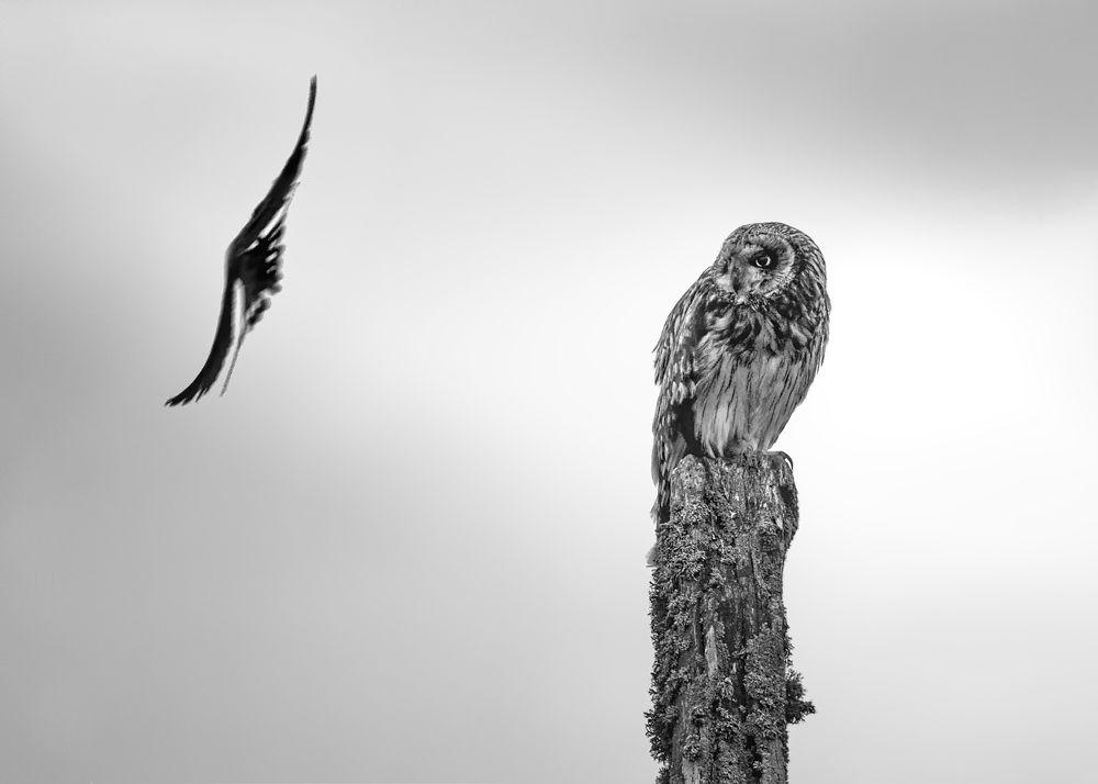Short Eared Owl buzzed by a Swallow