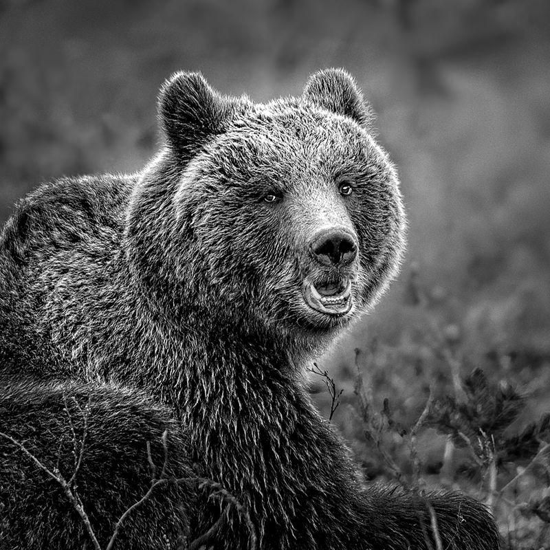 Urasian Brown Bear