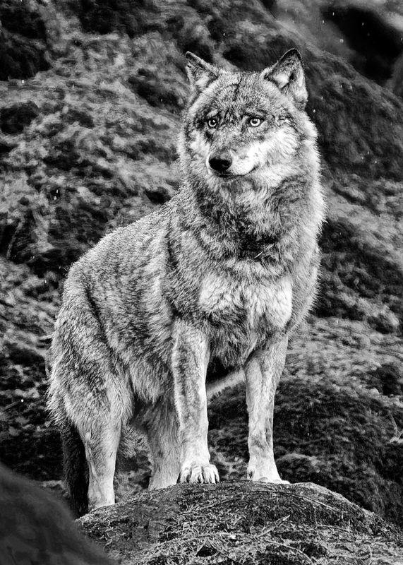 Urasian Wolf