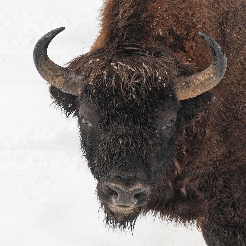 Wisent, European Bison