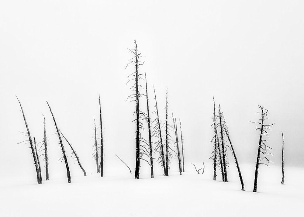 Yellowstone Burnt Trees