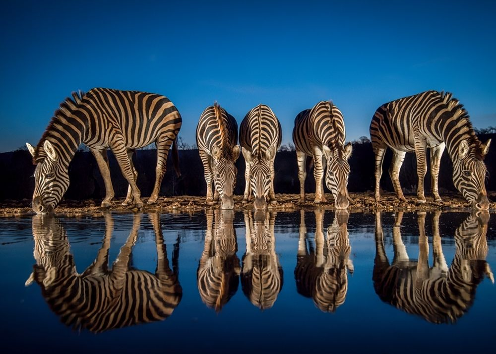 Zebra in the blue hour