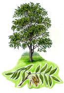Tree species - Ash