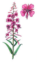 Botanical species - Great rosebay willowherb