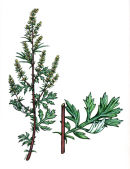 Botanical species - Mugwort