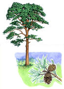 Tree species - Scots pine
