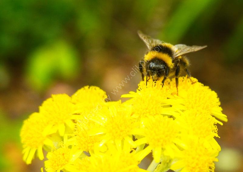 Bumblebee on Cineraria species