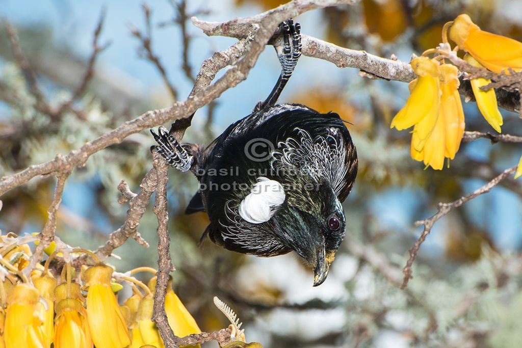 Tui with Pollen