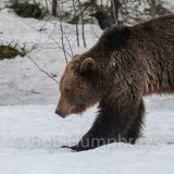 Brown Bear with raven