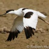 Avocet flying, Norfolk