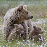 Brown Bears in cotton grass