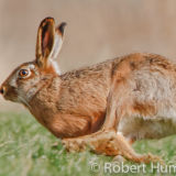 Brown Hare, Aberdeenshire