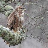 Buzzard in tree
