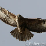 Flying Buzzard, Aberdeenshire