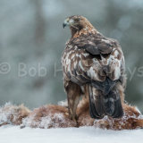 Golden Eagle with kill