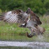 Osprey fishing 6, Aviemore