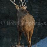 Sikha Deer