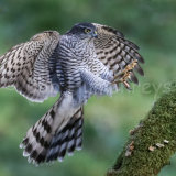 Sparrowhawk landing