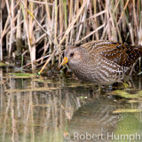 Spotted Crake, Norfolk