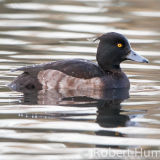 Tufted Duck, Aberdeenshire