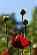 Poppy and seed heads