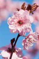 Ornimental Cherry Blossom