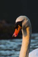 Mute Swan in evening light