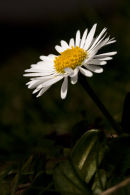 A daisy in spring