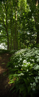 Wild garlic in a wood during springtime