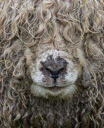 Greyface Dartmoor, Summer of love