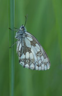 Marbled White-