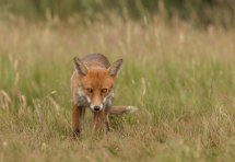 Mr Fox (1 of 1)