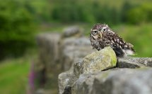 Owl at Oxenhope