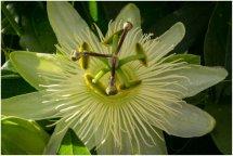 Passi flora