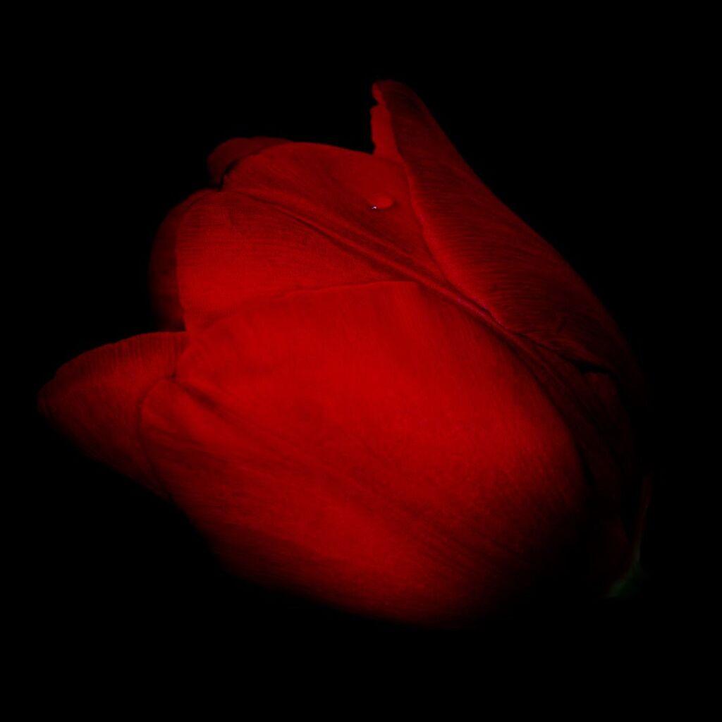 Tulip-no24