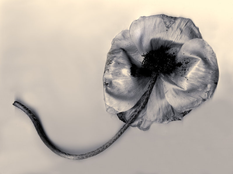 Monstrous Poppy