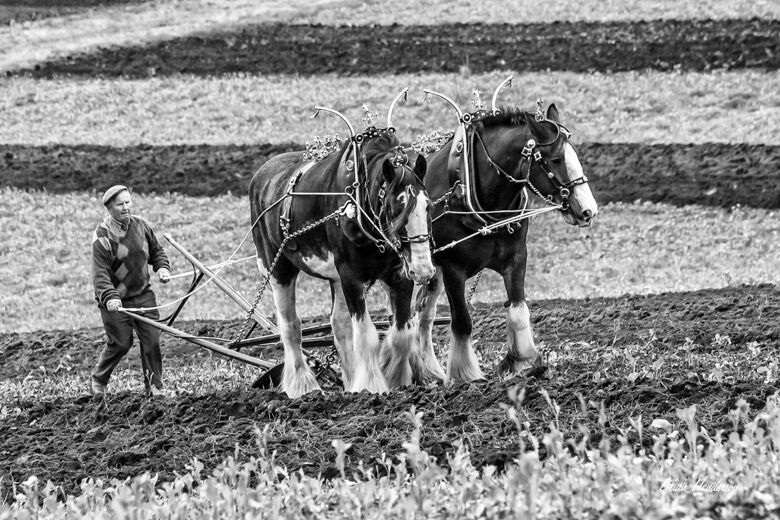 Clydesdales Ploughing