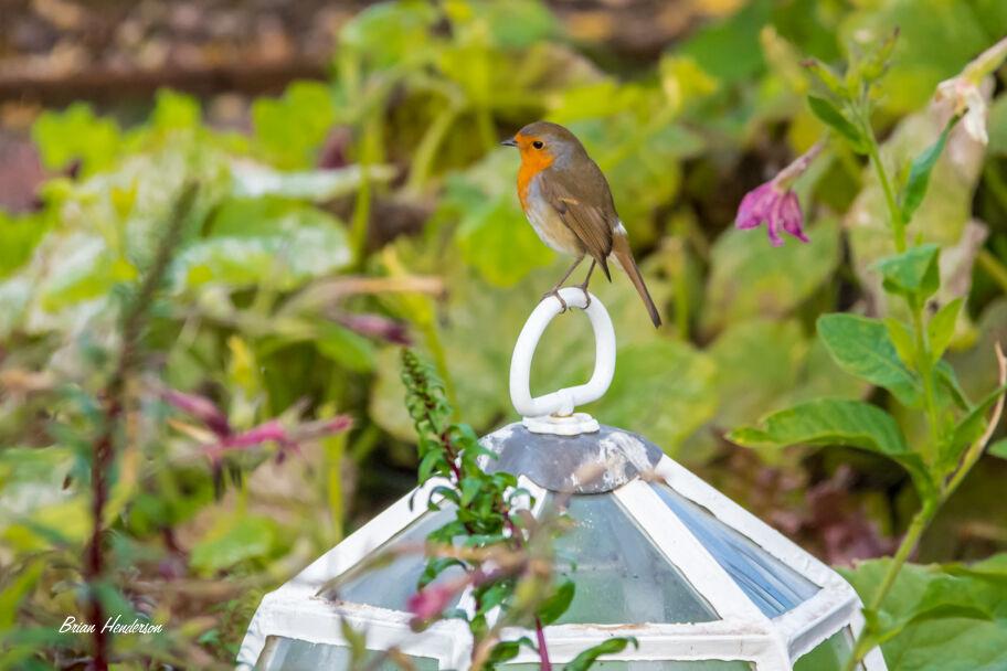 Hungry Robin!