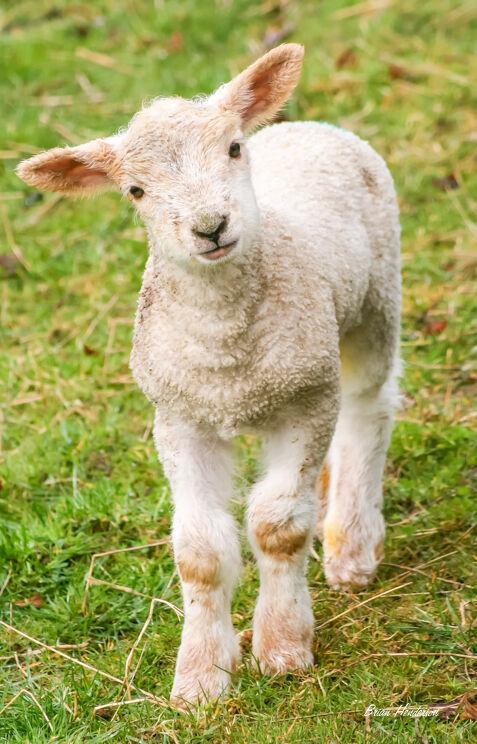 Curious Lamb!