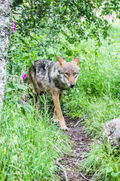 Big bad wolf !