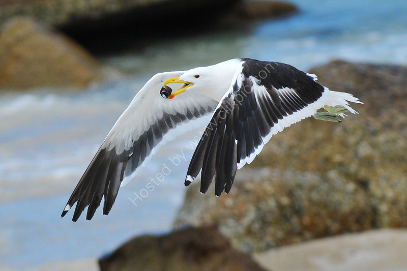 Cape Gull with crustacean
