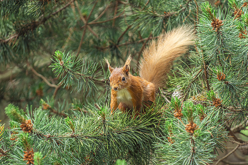 Red squirell in a tree!