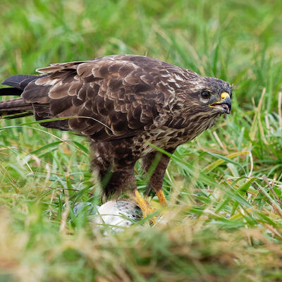 Buzzard feeding
