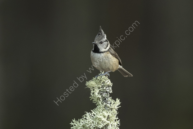 Crested Tit on top of a perch