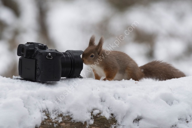 Red Squirrel and camera